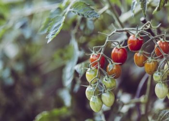 Gemüsegarten-Gemüsebeet-Nutzgarten-Prima-Verde-Gartengestaltung-Peter-Dimany-Wien-Floridsdorf