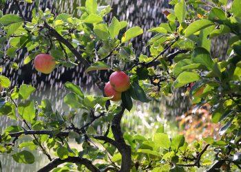 Prima-Verde-Gartengestaltung-Obstbaum-Nutzgarten-Apfelbaum-Peter-Dimany